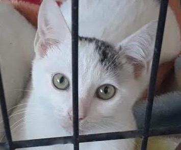 [picture of Lefty, a Turkish Van Mix white/tabby\ cat]