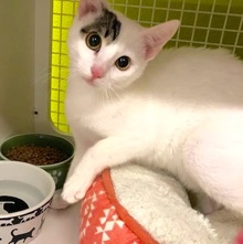 [another picture of Righty, a Turkish Van Mix white/tabby\ cat]