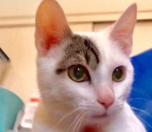 [picture of Righty, a Turkish Van Mix white/tabby\ cat]