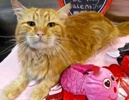 A picture of #ET02830: Brumbely a Maine Coon-x orange
