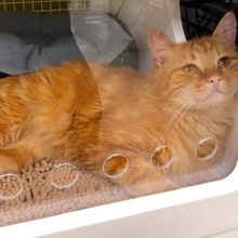 [another picture of Brumbely, a Maine Coon-x orange\ cat]