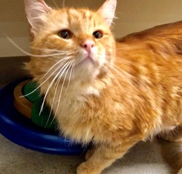 [picture of Brumbely, a Maine Coon-x orange cat]