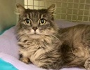A picture of #ET02831: Miss Elly a Ragdoll Mix silver