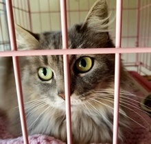 [picture of Miss Elly, a Ragdoll Mix silver\ cat]