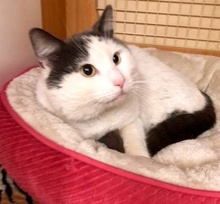 [picture of Eros, a Turkish Van Mix white/blue\ cat]