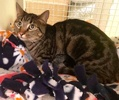 A picture of #ET02835: Mariah a Domestic Short Hair gray marble tabby