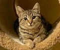[picture of Mariah, a Domestic Short Hair gray marble tabby cat]