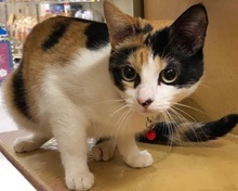 [another picture of Cosita, a Domestic Short Hair calico\ cat]
