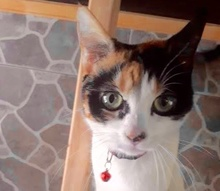 [picture of Cosita, a Domestic Short Hair calico\ cat]