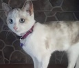 A picture of #ET02838: Mottia a Siamese Mix snowshoe