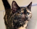 A picture of #ET02839: Dreama a Domestic Short Hair tortie
