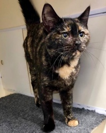 [another picture of Dreama, a Domestic Short Hair tortie\ cat]