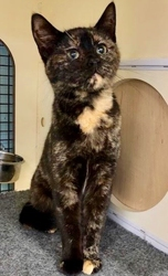 [picture of Dreama, a Domestic Short Hair tortie cat]