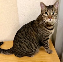 [another picture of Sport, a Maine Coon-x brown tabby\ cat]
