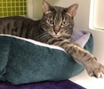 A picture of #ET02842: Frisbee a Domestic Short Hair silver tabby