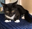 A picture of #ET02843: Boris a Domestic Short Hair black/white