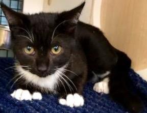 [picture of Boris, a Domestic Short Hair black/white cat]