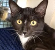 A picture of #ET02844: Natasha a Domestic Short Hair black tabby/white