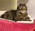 A picture of #ET02845: Breezy a Domestic Short Hair brown tabby