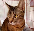 [picture of Breezy, a Domestic Short Hair brown tabby cat]