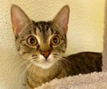 [picture of Breezilla, a Domestic Short Hair brown tabby cat]