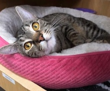 [picture of Breezy, a Domestic Short Hair brown tabby\ cat]