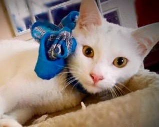 [picture of Kevin, a Turkish Van Mix white\ cat]