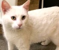 A picture of #ET02848: Arezella a Domestic Medium Hair white