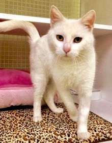 [picture of Arezella, a Domestic Medium Hair white cat]