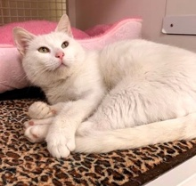 [picture of Arezella, a Domestic Short Hair white cat]