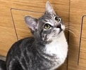 A picture of #ET02849: Horchata a Domestic Short Hair silver