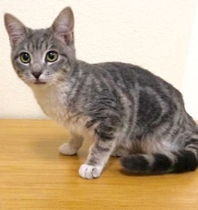 [picture of Horchata, a Domestic Short Hair silver cat]