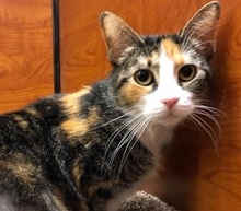 [another picture of Sophie, a Domestic Short Hair calico\ cat]