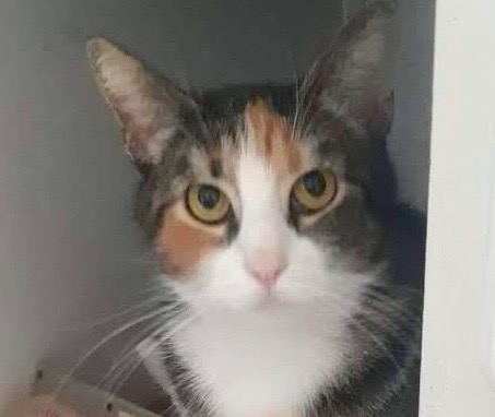 [picture of Sophie, a Domestic Short Hair calico\ cat]