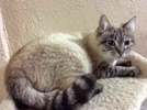 A picture of #ET02853: Blue a Ragdoll Mix lynx point