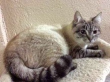 [picture of Blue, a Ragdoll Mix lynx point\ cat]