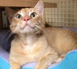 A picture of #ET02854: Julius a Domestic Short Hair orange tabby