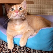 [another picture of Julius, a Domestic Short Hair orange tabby\ cat]