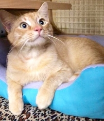 [picture of Julius, a Domestic Short Hair orange tabby cat]