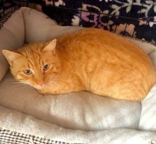 [picture of Julius, a Domestic Short Hair orange tabby\ cat]