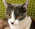 A picture of #ET02856: Indianapolis a Domestic Short Hair blue/white