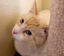 [picture of Inglewood, a Siamese Mix flame point\ cat]