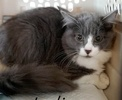 A picture of #ET02858: Indiana a Ragdoll Mix blue/white