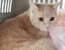 A picture of #ET02859: Iowa a Domestic Medium Hair orange