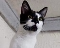 A picture of #ET02860: Melanie a Domestic Short Hair black/white