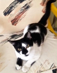 [picture of Melanie, a Domestic Short Hair black/white cat]