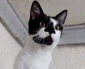 [picture of Melanie, a Domestic Short Hair black/white\ cat]