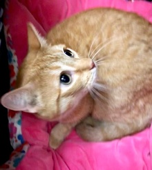 [another picture of Spitfire, a Domestic Short Hair orange\ cat]