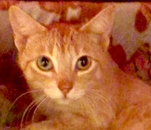 [picture of Spitfire, a Domestic Short Hair orange\ cat]