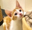 A picture of #ET02864: Little Oliver a Domestic Short Hair orange/white